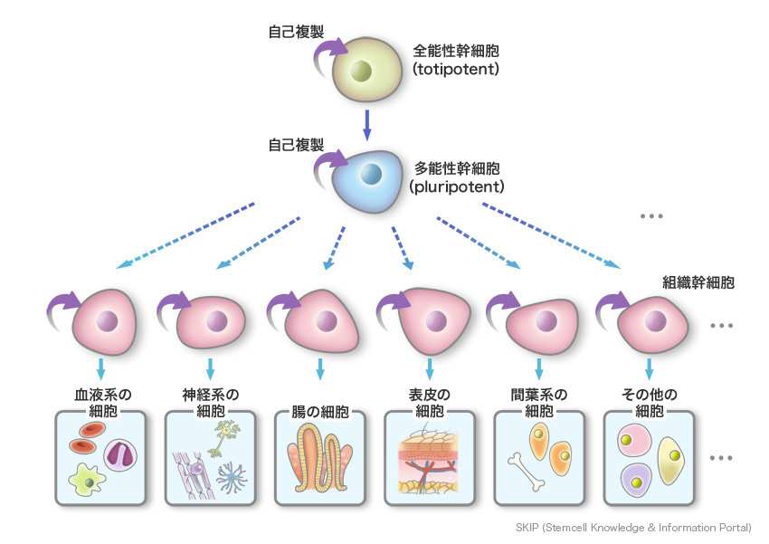 Stem cell supernatant media treatment